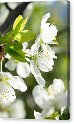 White Cherry Blossom Canvas Print by Irina Effa