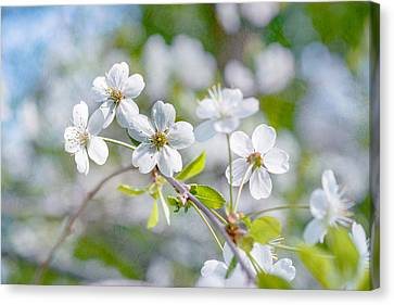 Canvas Print featuring the photograph White Cherry Blossoms In Spring by Alexander Senin