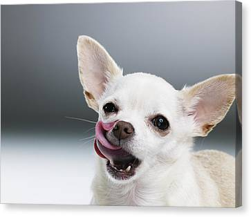White Chihuahua Licking Lips, Close-up, Portrait Canvas Print by Thomas Barwick