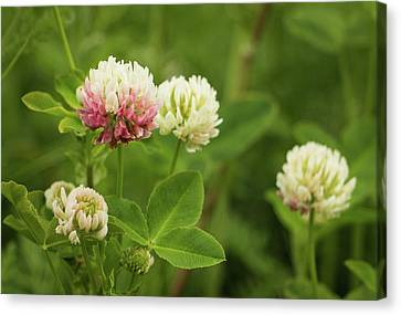 White Clover  Canvas Print by Edie Ann Mendenhall
