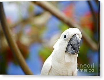 White Cockatoo Bird Canvas Print