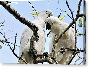 White Cockatoos Canvas Print by Kaye Menner