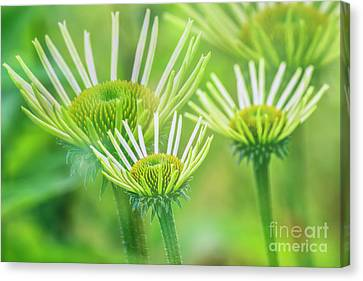 Coneflower Canvas Print - White  Coneflower II by Veikko Suikkanen