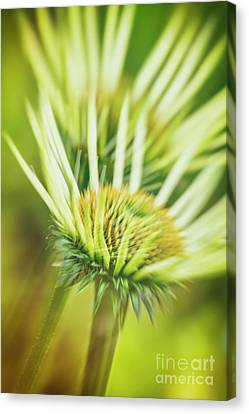 Abstracted Coneflowers Canvas Print - White Coneflower by Veikko Suikkanen