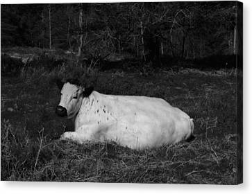 White Cow Luxuriates Canvas Print by Adrian Wale