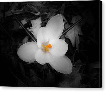White Crocus - Edit Canvas Print