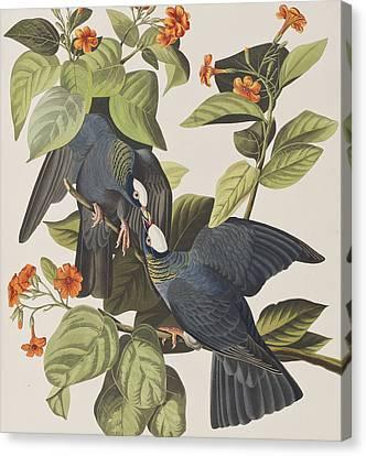 White Crowned Pigeon Canvas Print by John James Audubon