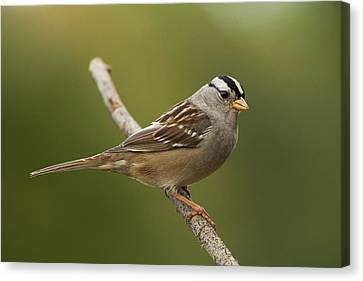 White-crowned Sparrow Canvas Print by Doug Herr