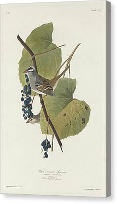 Sparrow Canvas Print - White-crowned Sparrow by Dreyer Wildlife Print Collections