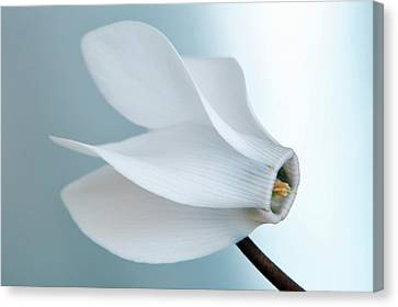 Canvas Print featuring the photograph White Cyclamen. by Terence Davis