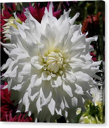 Canvas Print featuring the photograph White Dahlia Photo by Judy Mercer