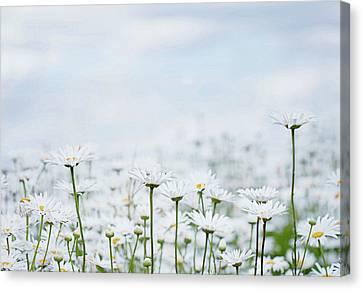 White Daisies In Summer Sunshine 2 Canvas Print