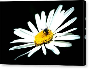 Canvas Print featuring the photograph White Daisy Flower And A Fly by Alexander Senin
