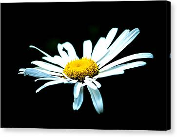 Canvas Print featuring the photograph White Daisy Flower Black Background by Alexander Senin