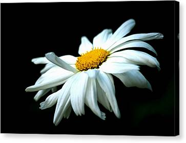 Canvas Print featuring the photograph White Daisy Flower In The Wind by Alexander Senin