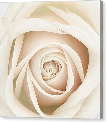 White Dawn Rose Canvas Print by Mindy Sommers