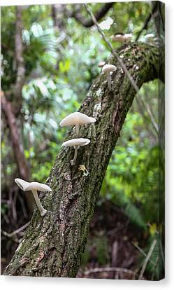 White Deer Mushrooms Canvas Print by Christopher L Thomley