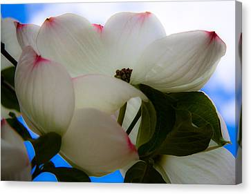 White Dogwood Flower Canvas Print by David Patterson