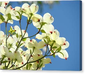 White Dogwood Flowers 1 Blue Sky Landscape Artwork Dogwood Tree Art Prints Canvas Framed Canvas Print by Baslee Troutman