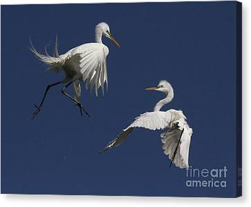 White Egret Ballet Canvas Print
