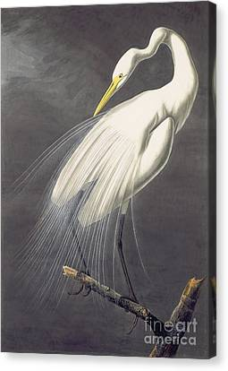 White Egret, Canvas Print