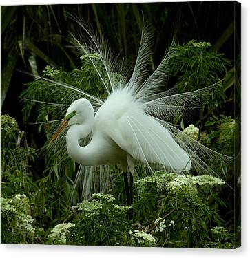 White Egret Displaying Canvas Print