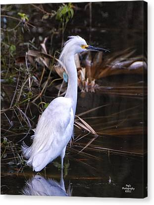 White Egret In Florida Pond Canvas Print