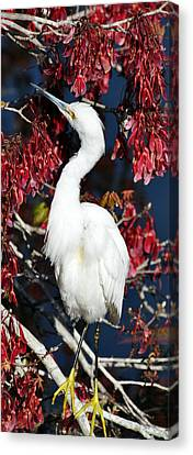 White Egret In Red Maple Tree Canvas Print