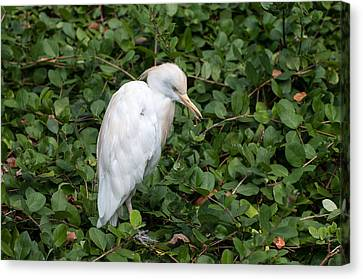Canvas Print featuring the photograph White Egret by Monte Stevens