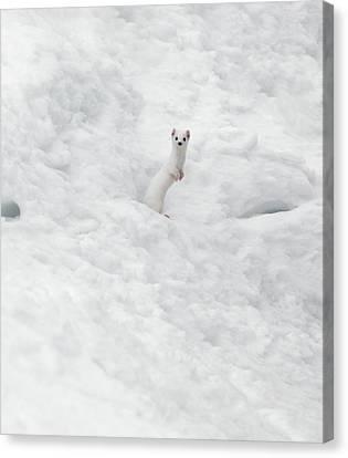 Genus Canvas Print - White Ermine  2 by Leland D Howard