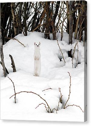 Genus Canvas Print - White Ermine by Leland D Howard