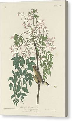 White-eyed Flycatcher Canvas Print