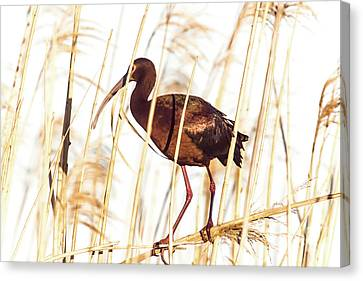 Cabin Window Canvas Print - White Faced Ibis In Reeds by Robert Frederick