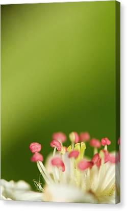 White Flower Canvas Print by Jouko Mikkola
