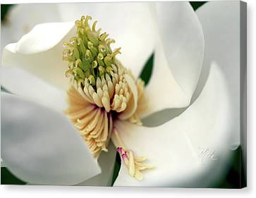 Canvas Print featuring the photograph Magnolia Blossom by Meta Gatschenberger