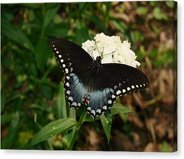 White Flowered Butterfly Canvas Print