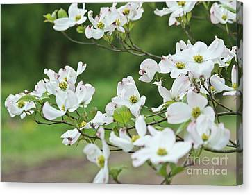 Canvas Print featuring the photograph White Flowering Dogwood by Ann Murphy