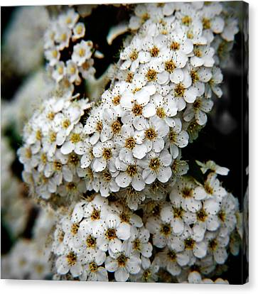 White Flowers In Tennoji Park, Osaka Canvas Print by Photos by Jeremy Tan