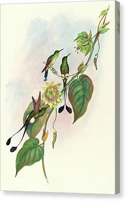 White Footed Racket Tail Canvas Print by John Gould