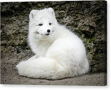 White Fox Relaxing Canvas Print by Athena Mckinzie