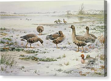 White Fronted Geese Canvas Print by Carl Donner