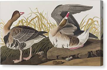 Geese Canvas Print - White-fronted Goose by John James Audubon
