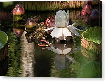 White Giant Water Lily Canvas Print by Zina Stromberg