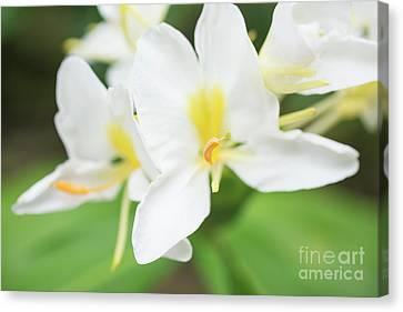 White Ginger Blossom Canvas Print by Charmian Vistaunet