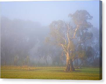 White Gum Morning Canvas Print by Mike  Dawson
