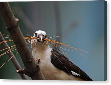 White-headed Buffalo Weaver Canvas Print by Michiale Schneider