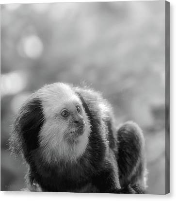 White-headed Marmoset Canvas Print by Wim Lanclus
