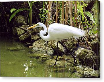 White Heron Canvas Print by Cindy Lee Longhini
