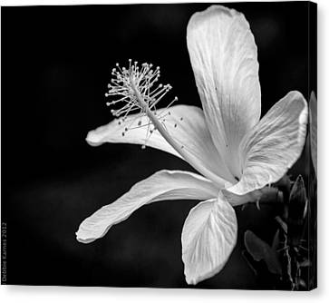 White Hibiscus Black And White Canvas Print by Debbie Karnes