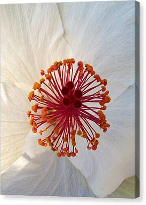 White Hibiscus - Edit Canvas Print